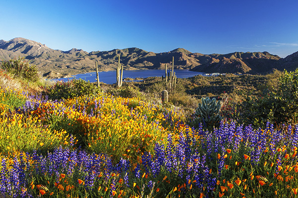 Superbloom Bartlett Lake